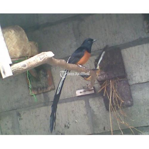 Burung Murai Batu Medan Super Kualitas Ekor Panjang Melayani Pembelian Per Sarang Di Bogor Tribunjualbeli Com