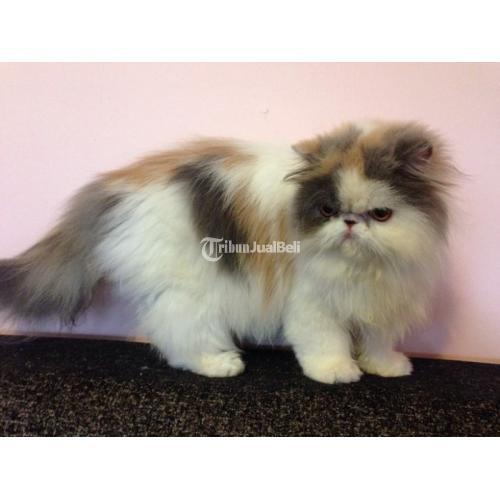 Kucing Persia Longhair Peaknose Betina Ras Di Kendal Tribunjualbeli Com
