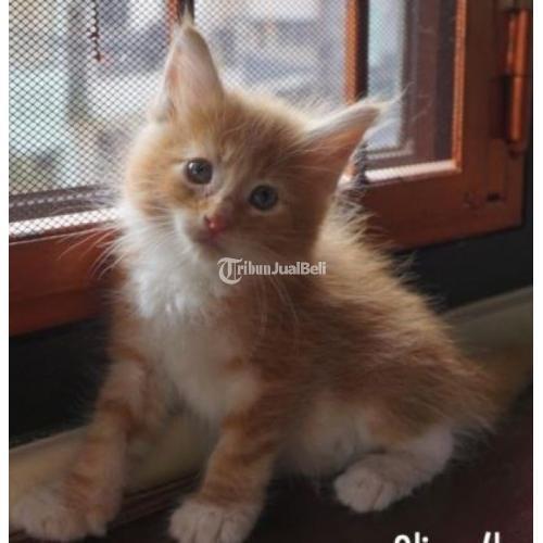 Kucing Mainecoon Siap Adopsi Taanez Maine Coon Cattery Sehat Lincah Di Jakarta Selatan Tribunjualbeli Com