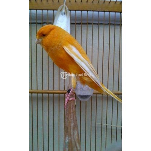 Jual Burung Kenari Jantan Yokshire Import Ring Ioa Inggris Harga Murah Di Magelang Tribunjualbeli Com