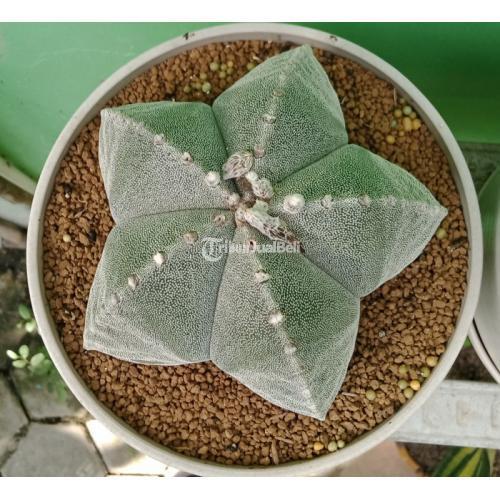Tanaman Hias Astrophytum Myriostigma Seedling Kaktus Dari Biji Import Jumbo - Sulawesi Selatan