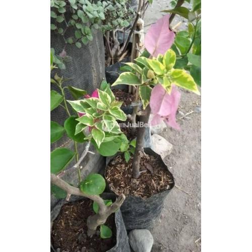 Bunga Bougenvile 3 Warna Langsung dari Petani Pembayaran COD - Kediri