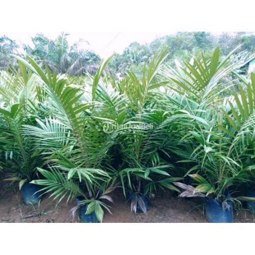 Bibit Sawit Unggul Kecambah Sawit Unggul Pembibitan Tanaman Agrobisnis - Tanah Bumbu