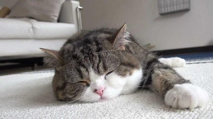 Gambar Kucing Rumah godean.web.id
