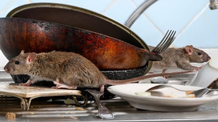 Cara Usir Tikus Tanpa Racun Agar Tidak Berkembang Biak dalam Rumah