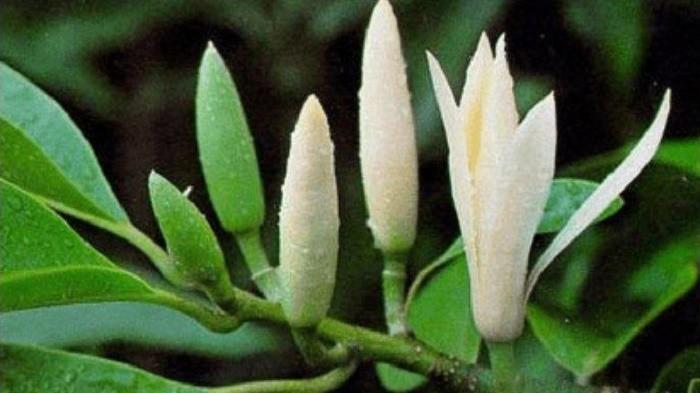 Sering Dikaitkan dengan Hal Mistis, Ini Manfaat Tersembunyi Bunga Kantil
