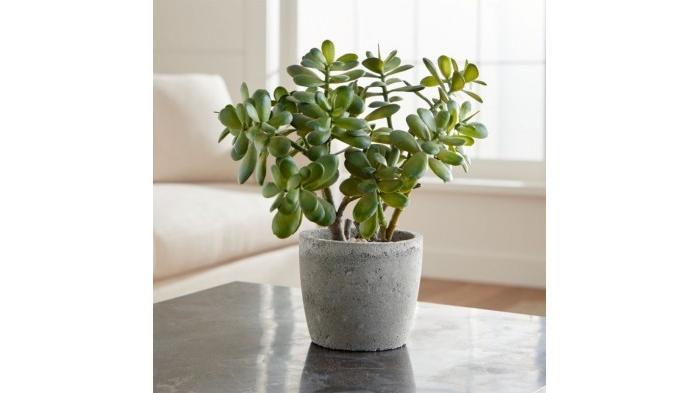 Tanaman Giok, salah satu tanaman hias yang bisa bawa hoki menurut fengshui   Crate and Barrel