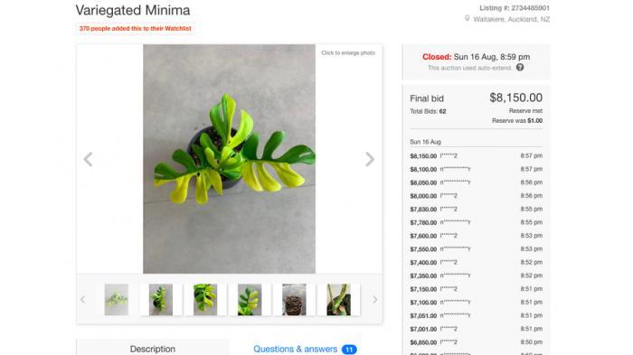Tangkapan layar web lelang Trade Me yang menunjukkan harga tanaman hias Minima Variegated