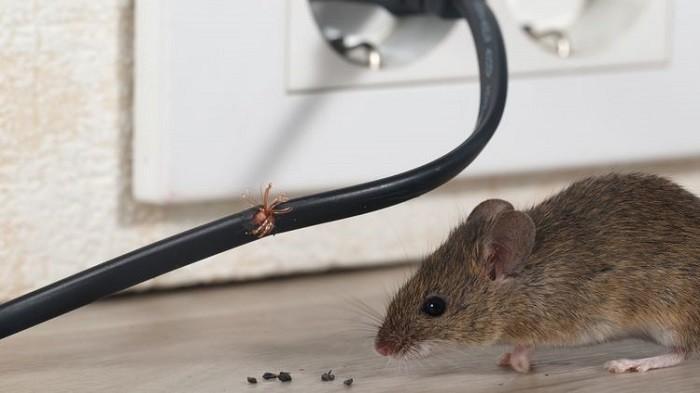 Cara Basmi Tikus Tanpa Racun, Dijamin Lebih Aman Pakai Bahan Alami